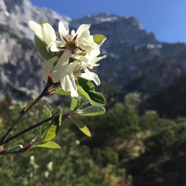 Hübsch, nicht?! #styria #austria #flowers #nofilter #postkartenmotiv #nationalpark #gesäuse #haindlkarhütte