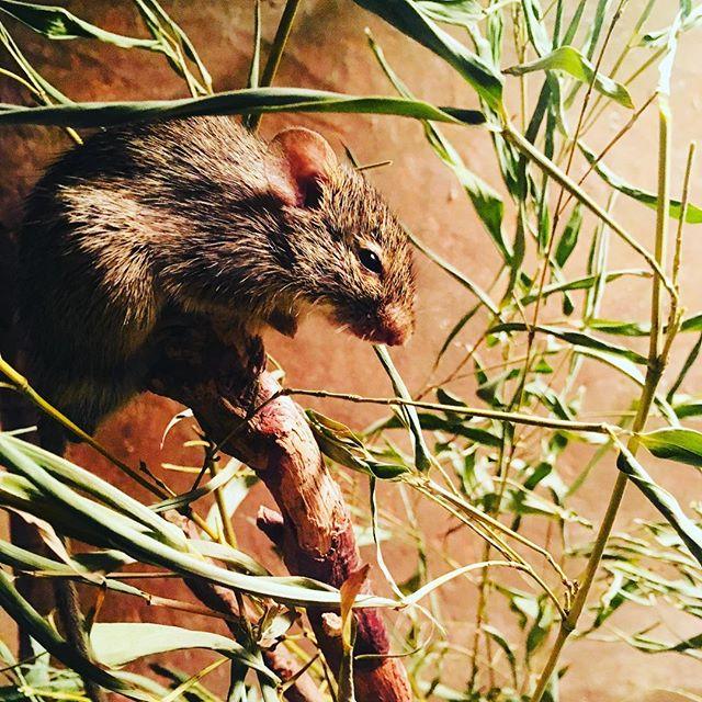 Nice mice#mice #prague #praguezoo #animalgram #petsofinstagram #gutschigutschigu