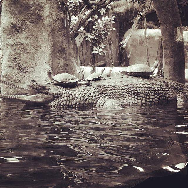 Mitreisende#prague #praguezoo #zoo #crocodile #turtle #turtlepower #latergram #animals #blackandwhite #schifffahrt #goingbycrocodile