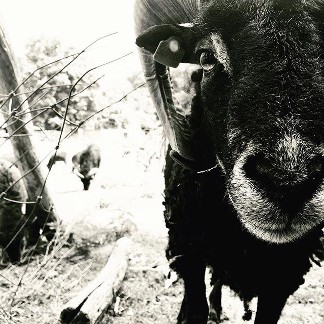 Eye of the ram. #ram #animalgram #animals #leithagebirge #dangerous #dangerouslife #bewareoftheram #beware